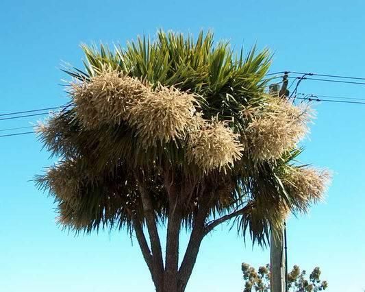 На Мадагаскаре обнаружена пальма самоубийца