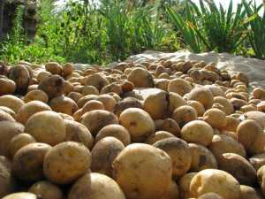 Чем грозит Беларуси неурожай картошки