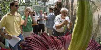 Расцвел самый большой цветок планеты